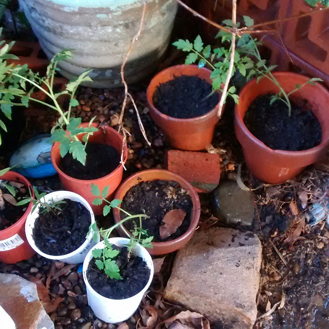 Repotting tomatoes