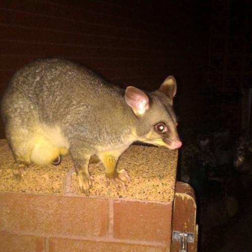 Hello friend! possum straya