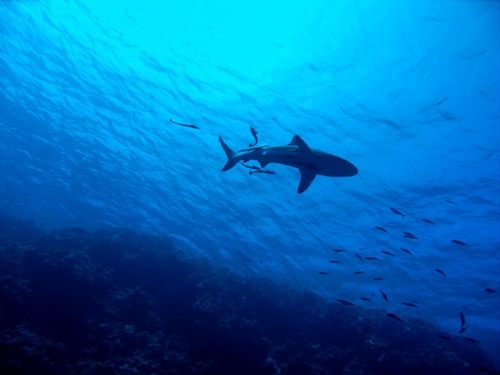 Shark in blue water